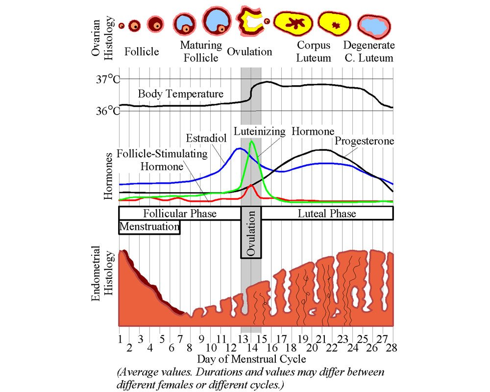 Temperatura basal, gráfico